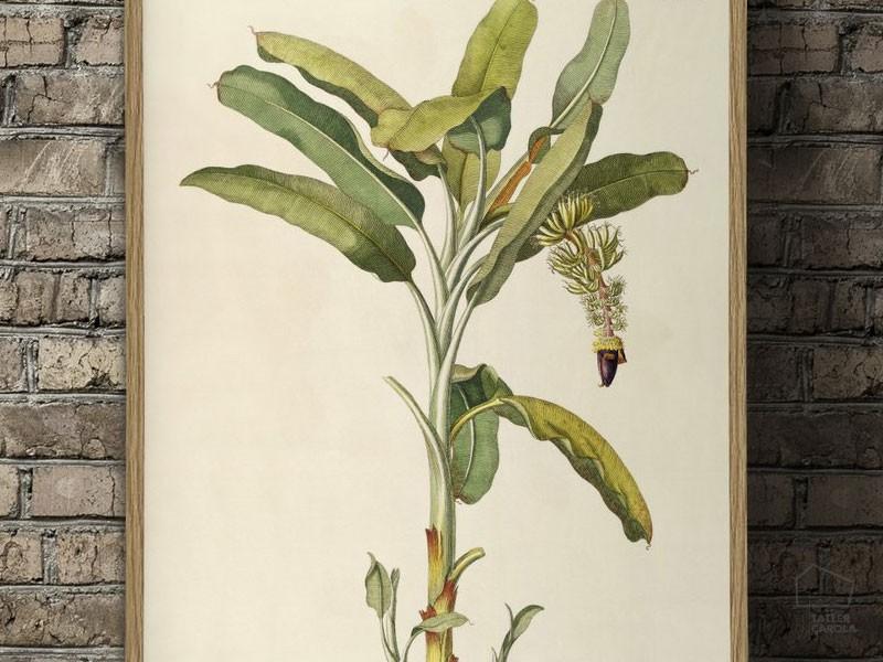 0913702mus Lámina Botánica