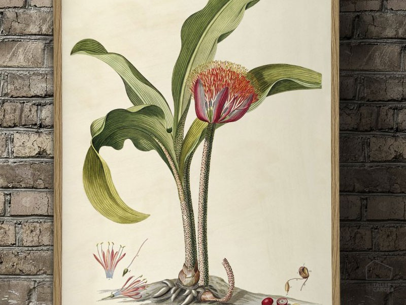 3715hae Lámina Botánica